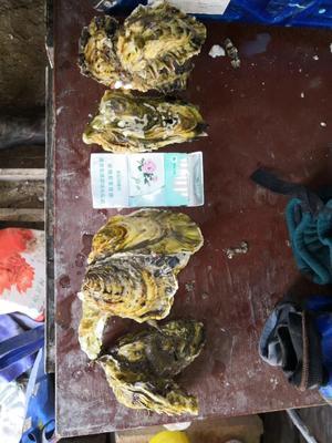 山东省烟台市海阳市海阳牡蛎 2-3两/只 人工殖养