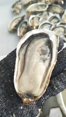 陕西省西安市莲湖区爱尔兰生蚝 2-3两/只 人工殖养