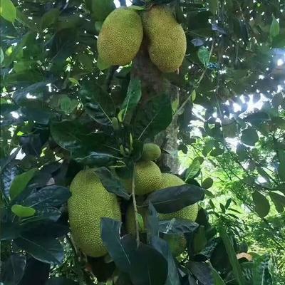 广西壮族自治区钦州市钦南区越南菠萝蜜 10-15斤