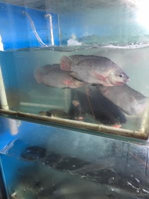 北京顺义区福寿鱼