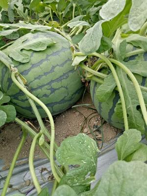 海南省陵水黎族自治县陵水黎族自治县美都西瓜 8斤打底 1茬 8成熟 有籽