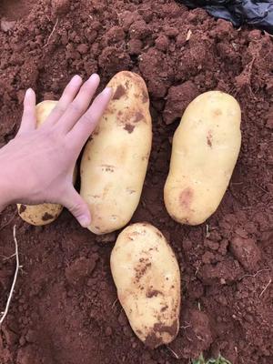 四川省自贡市自流井区荷兰15号土豆 统货