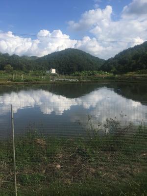 广东省梅州市大埔县生态草鱼 1.5-3公斤 人工养殖