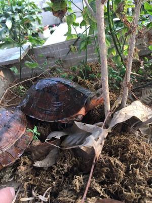 这是一张关于石金钱龟 的产品图片