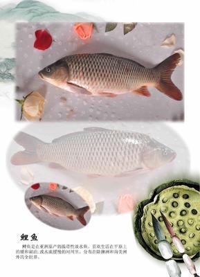 北京顺义区黄河鲤鱼 0.5-3公斤 人工养殖