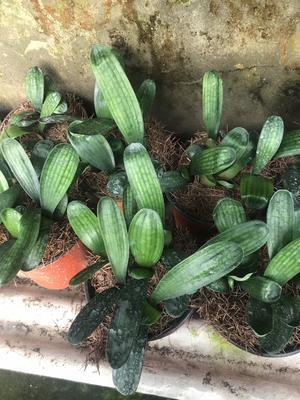 这是一张关于君子兰苗 的产品图片