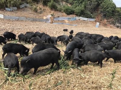 广西壮族自治区桂林市恭城瑶族自治县藏香猪 100斤以上