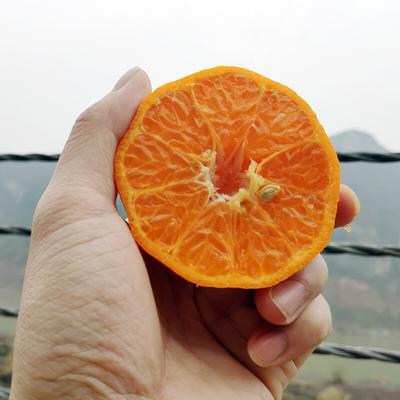 这是一张关于泸溪椪柑 6.5 - 7cm 1.5 - 2两 的产品图片