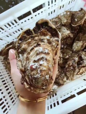 山东省威海市乳山市乳山牡蛎 人工殖养 1-2两/只