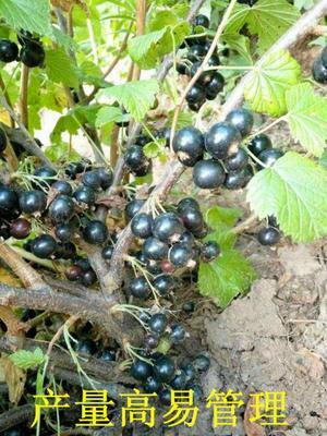 这是一张关于树葡萄苗 的产品图片