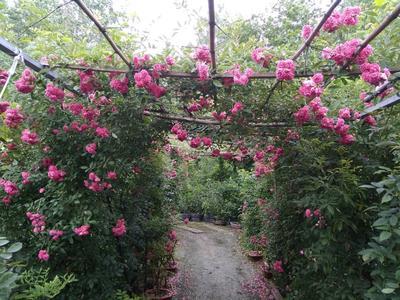安徽省亳州市利辛县多花紫藤 1~1.5米 5公分以上