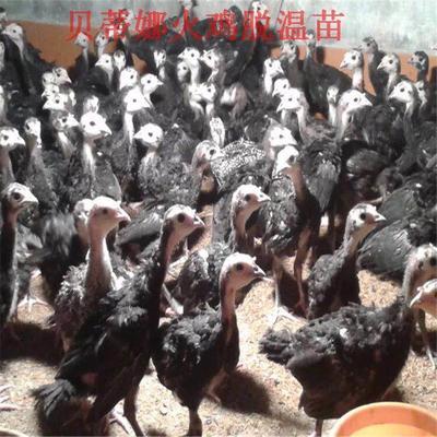 广西壮族自治区贵港市覃塘区贝蒂娜火鸡苗