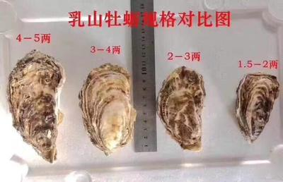 山东省威海市乳山市乳山牡蛎 人工殖养 3-4两/只