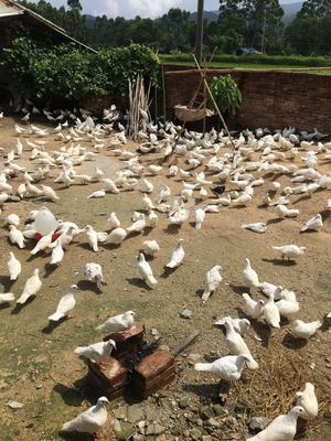 广东省江门市开平市淘汰鸽子 500-600克
