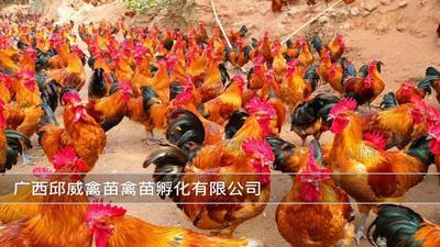 广西壮族自治区南宁市兴宁区红瑶鸡苗