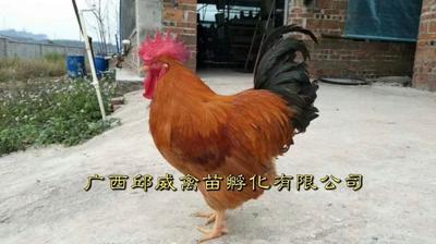 九斤黄鸡苗
