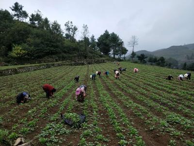 贵州省毕节市七星关区水果萝卜 1.5~2斤