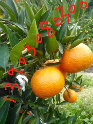 这是一张关于焦柑 7 - 7.5cm 3两以上 的产品图片