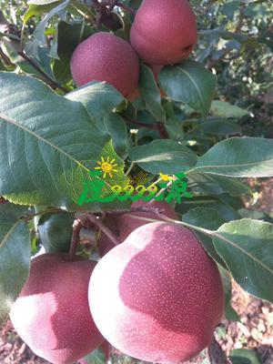 这是一张关于奥红一号红梨苗 1.5~2米 的产品图片