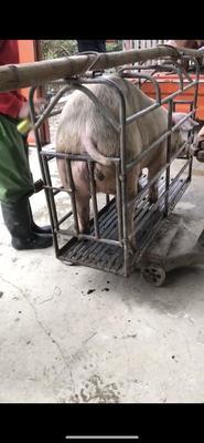 福建省漳州市漳浦县长白猪 200-300斤