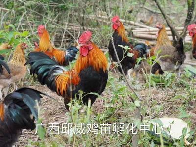 广西壮族自治区南宁市兴宁区茶花鸡苗