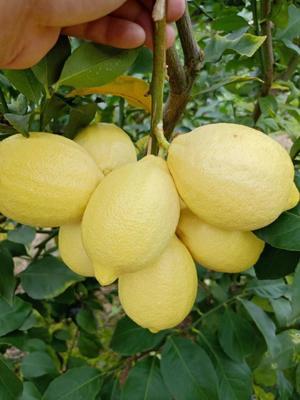 这是一张关于尤力克柠檬 2 - 2.6两 的产品图片