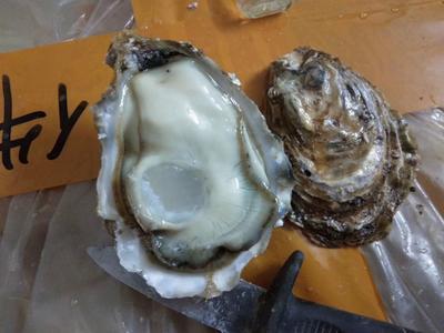 广东省佛山市南海区乳山牡蛎 2-3两/只 人工殖养