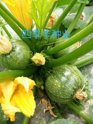 四川省成都市锦江区金珠西葫芦种子