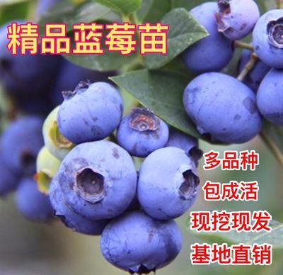 山东省临沂市平邑县粉蓝蓝莓苗
