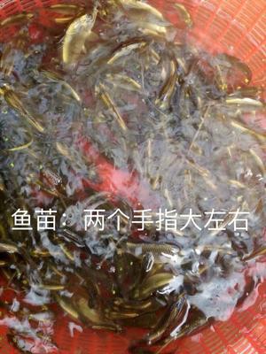 湖南省怀化市通道侗族自治县鲤鱼苗