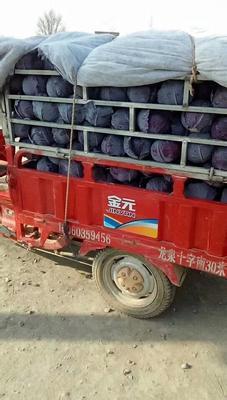 陕西省西安市阎良区紫甘蓝 1.5~2.0斤