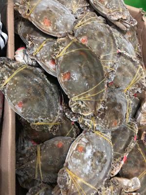 辽宁省丹东市东港市梭子蟹 母蟹 4.0两以上