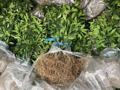 这是一张关于红美人柑桔苗 嫁接苗 0.5~1米 的产品图片