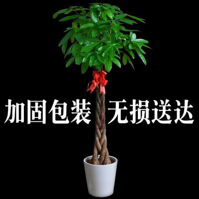江苏省宿迁市沭阳县辫子发财树 独杆发财树