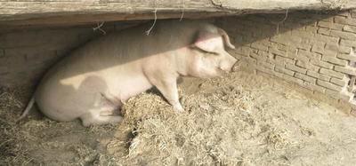 河北省沧州市沧县长白猪 300斤以上