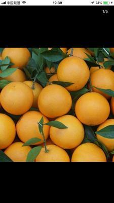 这是一张关于麻阳冰糖橙 70-75mm 4-8两 的产品图片