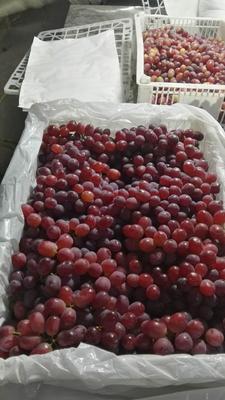 新疆维吾尔自治区巴音郭楞蒙古自治州和静县克瑞森无核葡萄 1-1.5斤 5%以下 1次果