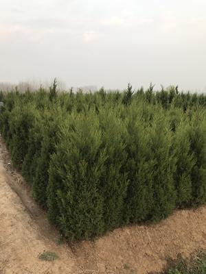 这是一张关于塔柏 蜀侩 墓地松 园柏的产品图片