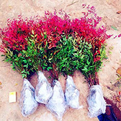 这是一张关于红叶南天竹盆栽 的产品图片