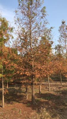 上海普陀区普通水杉