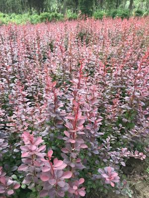 这是一张关于红叶小檗 的产品图片