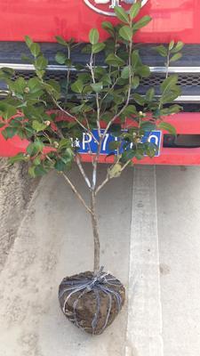 河南省信阳市潢川县茶花树 80~100cm 大红花茶花基地直供