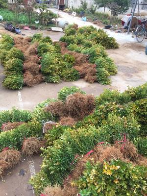这是一张关于小叶黄杨苗 的产品图片