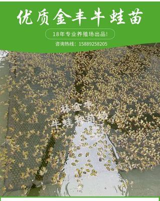 广东省汕头市澄海区牛蛙