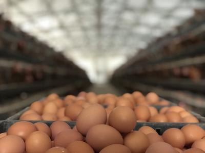 河南省郑州市巩义市红皮鸡蛋 箱装 食用 日产1200斤鲜鸡蛋