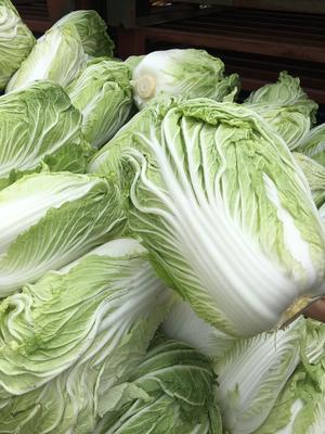 山东省潍坊市坊子区胶州大白菜 6~10斤 净菜