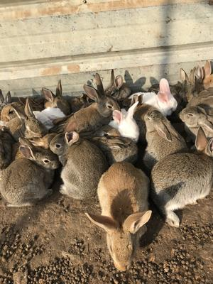 这是一张关于比利时野兔 1-3斤 的产品图片