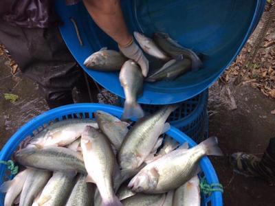 广东省佛山市顺德区加州鲈鱼 人工养殖 1-1.5公斤