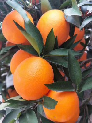 奉节脐橙 4-8两 60-90mm