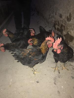 这是一张关于黑鸡 3-4斤 公 的产品图片
